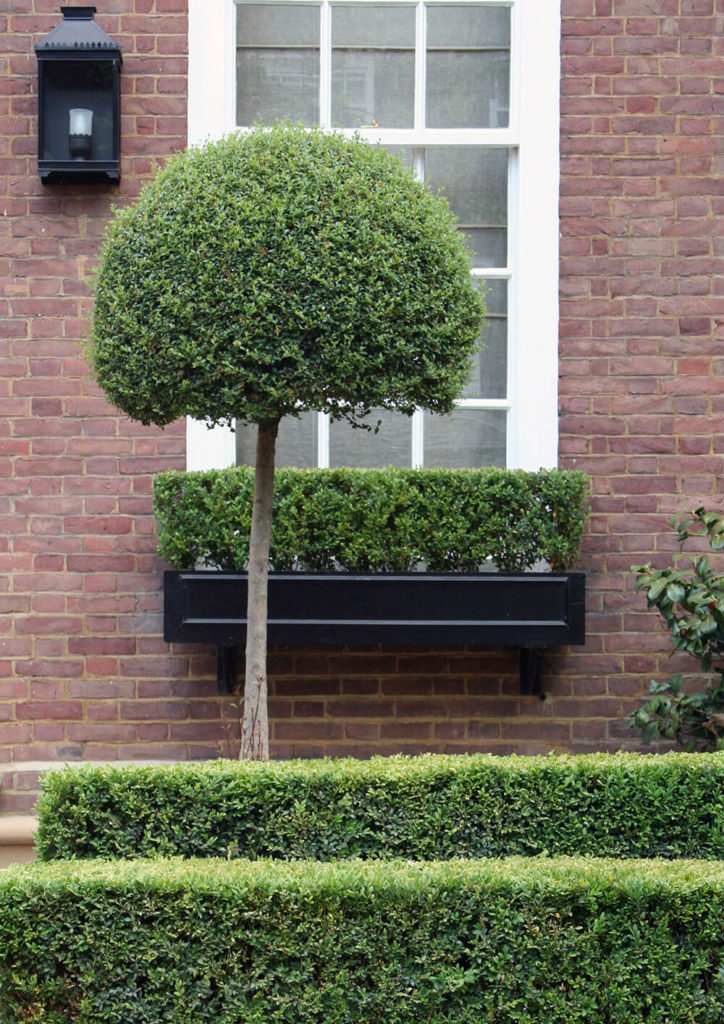 how to make box hedge bushy