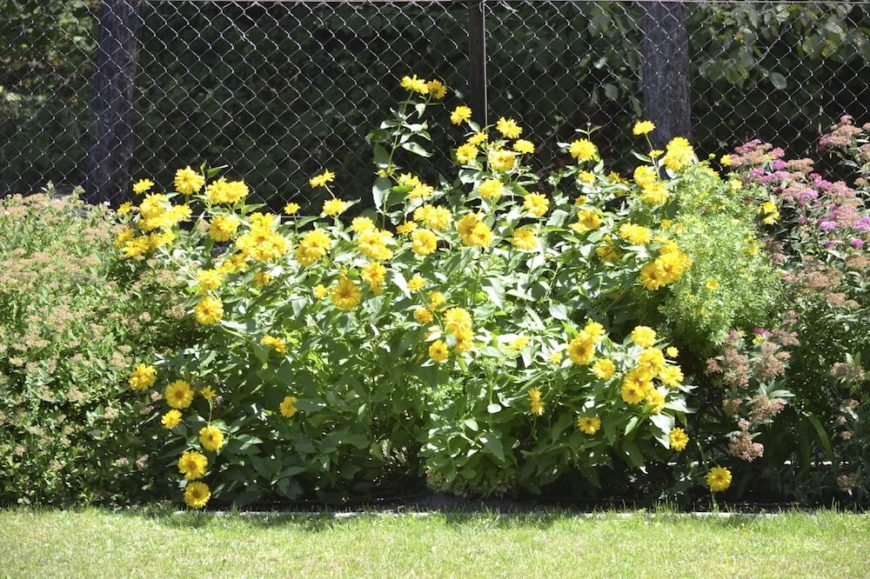 Even if you don't have plants that will grow up and through the fencing like a trellis, you can still plant large, leggy flowers like this wild yellow daisy variant. The colorful blooms and sheer size will camouflage a plain fence.