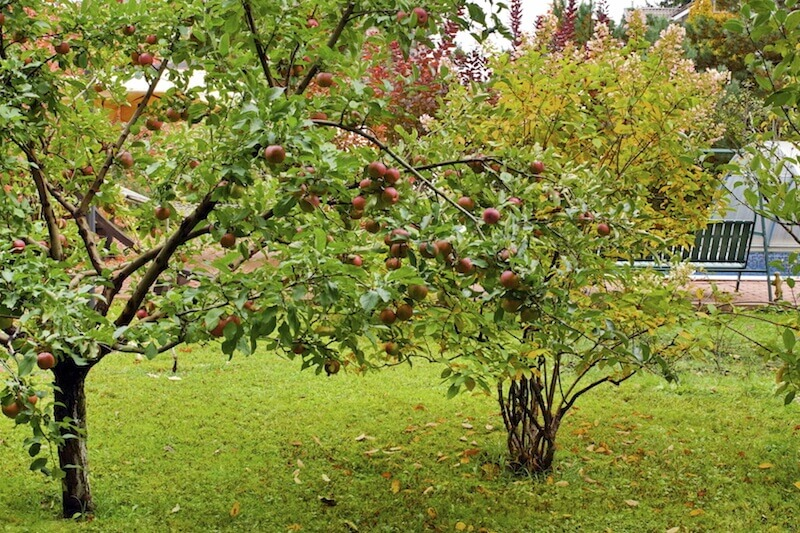 24 backyard fruit trees apple