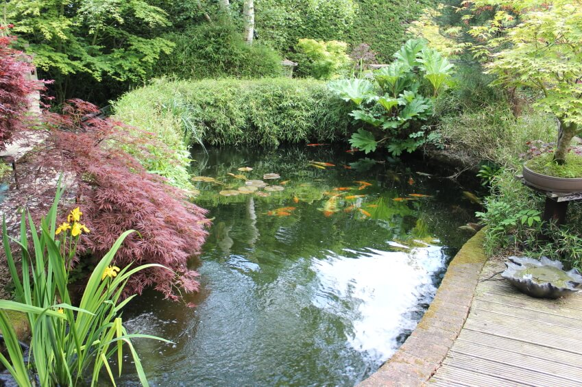 a koi pond edged by hedges and maples this view is from a curving walkway - Koi Pond Design Ideas