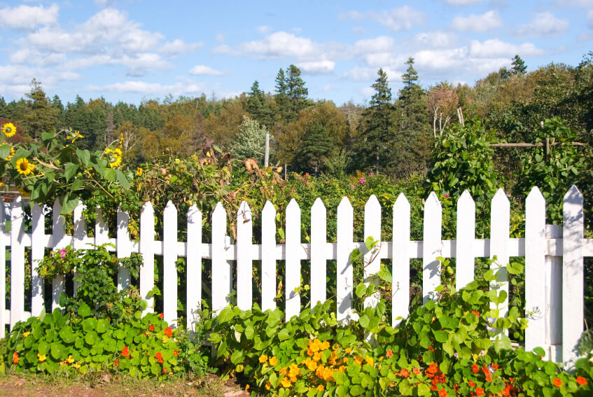 A garden surrounded by a white picket fence that doesn't entirely keep the plants contained. A tangle of sunflowers peeks over the fence on the left side.