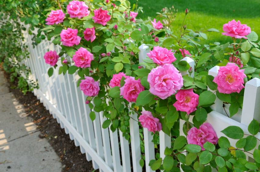 A beautiful, elegant white fence with pink roses climbing over the top.