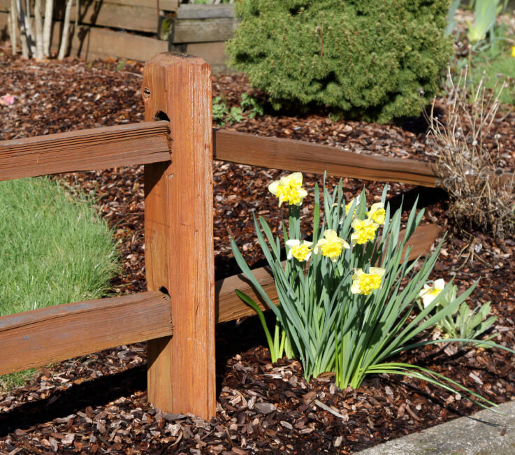 A simple cedar fence that narrows into a wood chip planting bed with daffodils sprouting at the beginning of spring.