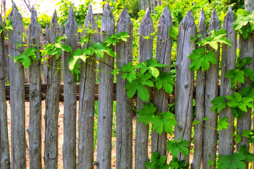 An aging natural, rustic fence with grape vines trailing over it.