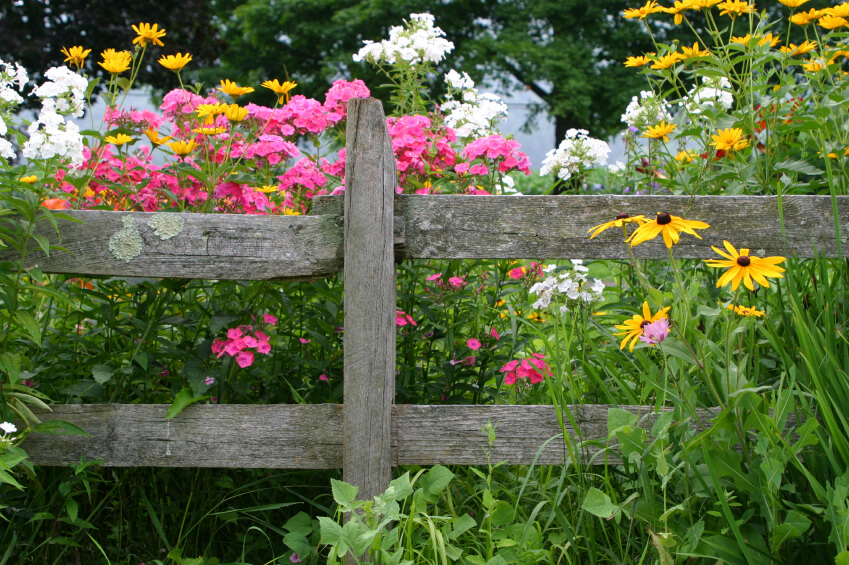 Beautiful An Old Rustic Fence With Weather Damage And A Bright Array Of Wild Flowers  Popping Up