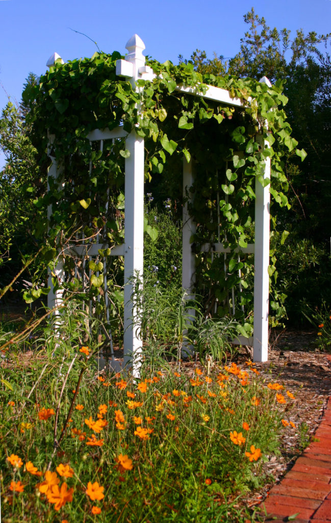Painted Trellis Ideas Part - 35: A White, Wooden Trellis Is Covered In Morning Glories.
