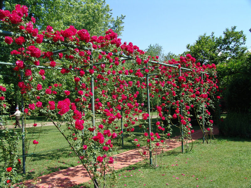 Attractive Climbing Rose Trellis Ideas Part - 12: Metal Piping Is Used To Construct A Trellis For Climbing Roses. Once Fully  Developed,