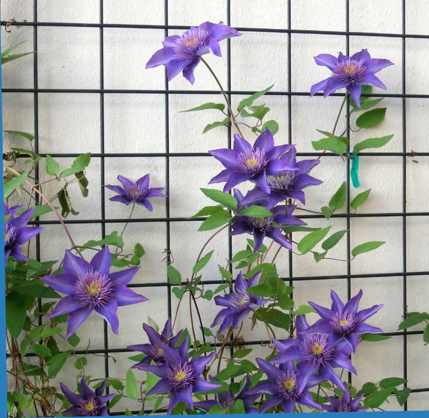 Clematis Trellis Ideas Part - 20: The Purple Blooms Here Are Clematis, Which Use This Metal Lattice To Climb.