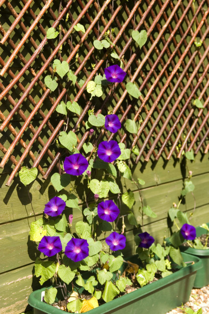 Stunning Purple Morning Glories Climb A Wooden Lattice.