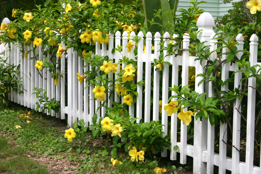 A Pretty White Picket Fence With Bright Yellow Blooms With Lush Green  Foliage Peeping Through The