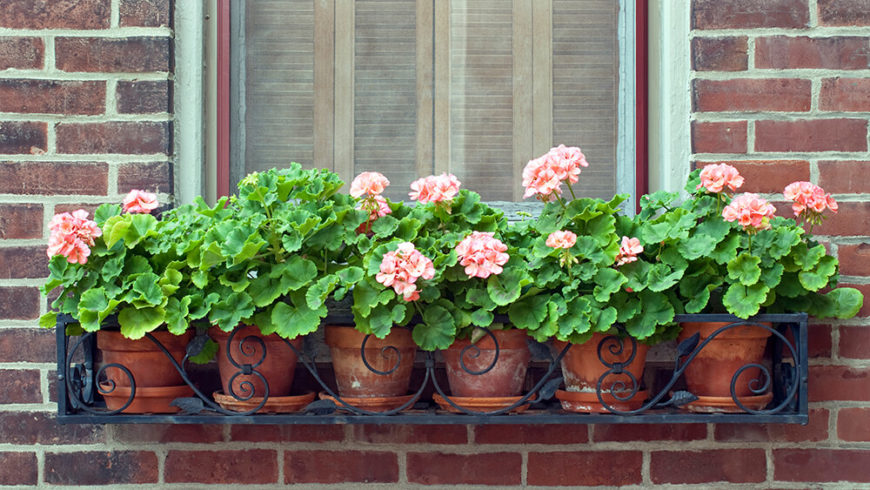 Another wrought iron window box, but this one is filled with six terra cotta planters, each with a soft pink geranium.