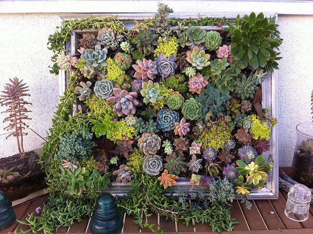 With the ubiquity of rotting wooden picture frames lying around, you should have no trouble finding the perfect one for your next planter. Mixing these colorful succulents with the old, battered frame helps bring out the beauty in both!