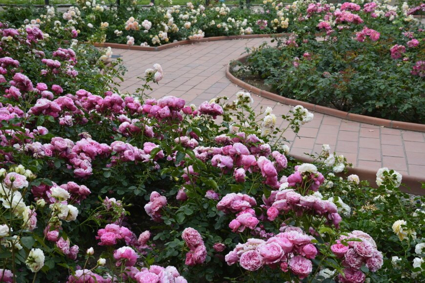 Pink rose garden with brick pathway.