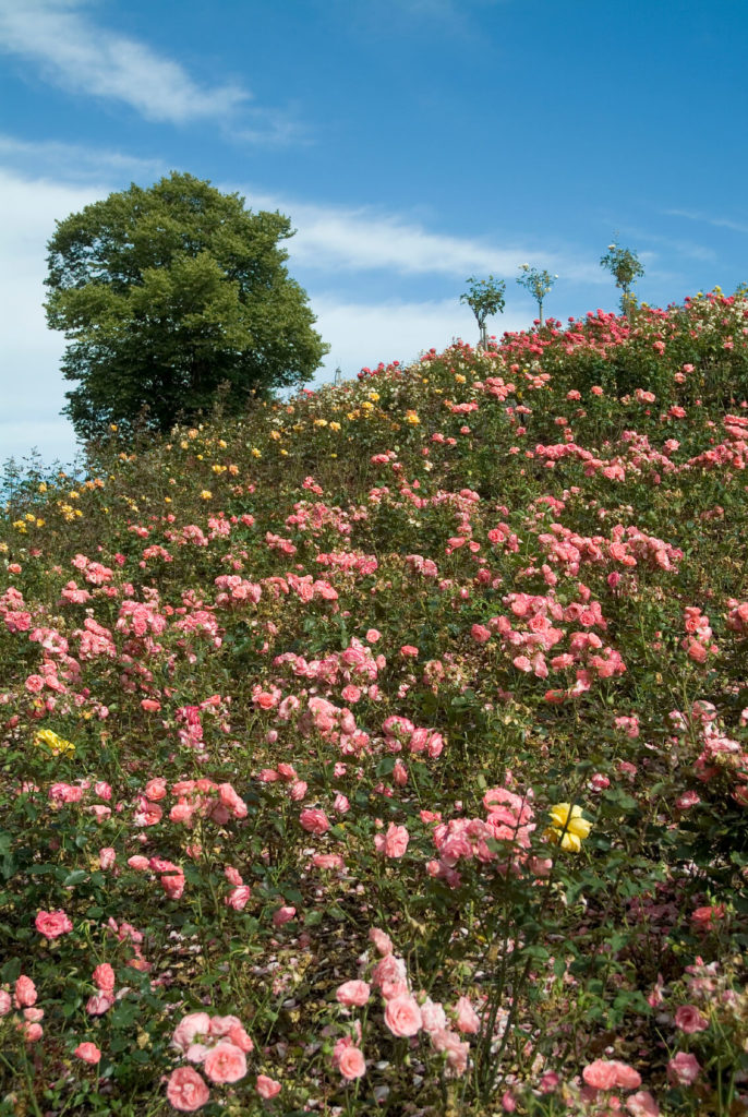 Yellow And Pink Old Garden Roses Provide A Colorful Solution To This  Hillside Landscaping. Consider