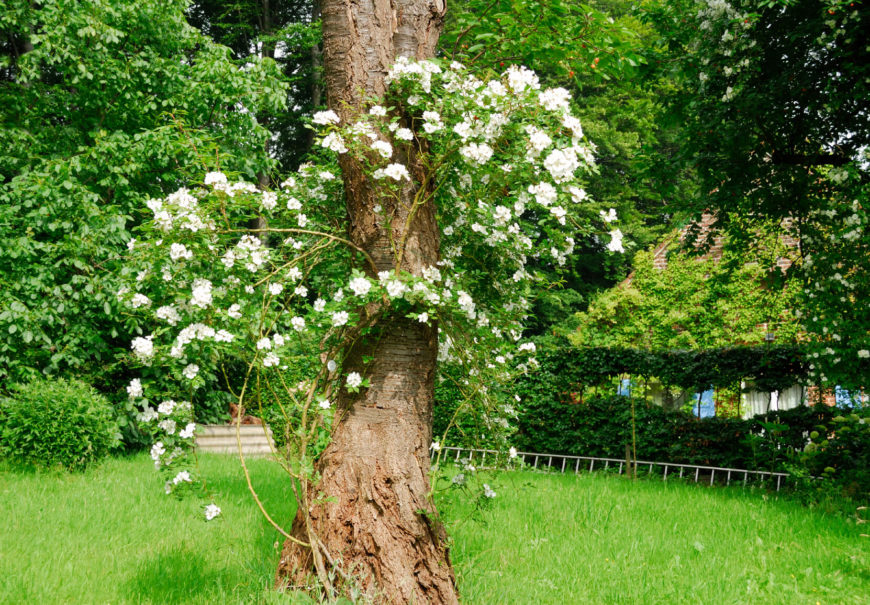 a climbing white rose overtakes a mature tree to add a vintage feeling to this backyard - Backyard Rose Garden