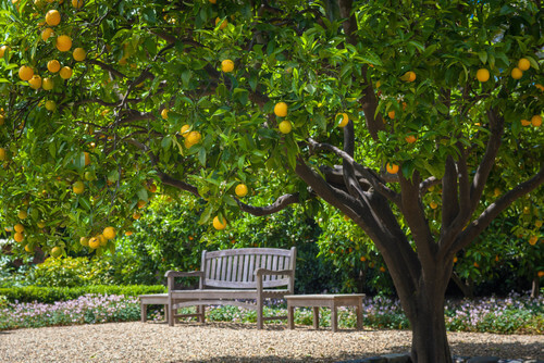 A bench is a wonderful spot to sit and enjoy a stunning fruit tree. Sitting on this bench, enjoying the outdoors while snacking on a nice fresh piece of fruit is a marvelous way to get back to nature.