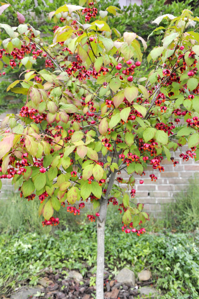 Here Is A Berry Bush That Provides This Space With Lovely Color. Berry  Bushes Can